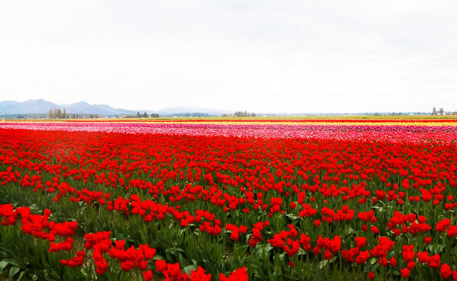 Tulip Festival (Roozen Garde)